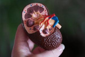 kidney plastic model